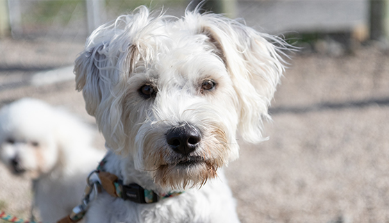 White Dog at Rangiora Dog Park