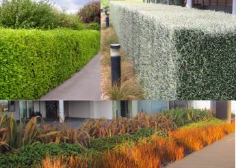 Example of plant species for Rangiora Town Centre entrance