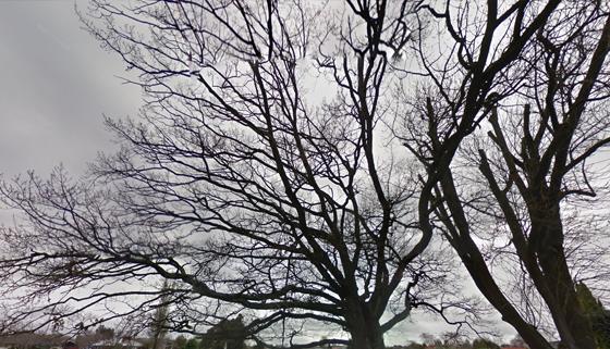 Mansfield Trees