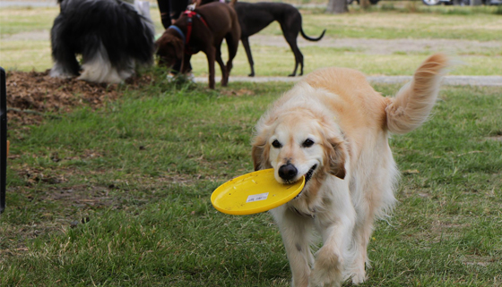 Dog Carrying Frisbee Kaiapoi Dog Park