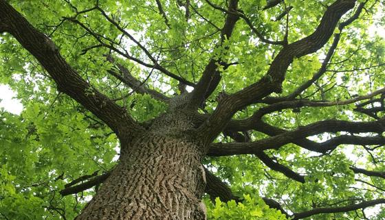 Kaiapoi Oak Trees to Stay thumbnail image.