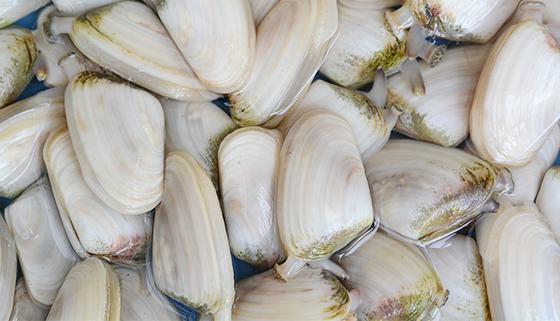 Tuatua shellfish collection