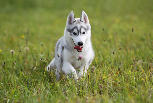 Dog running through grass