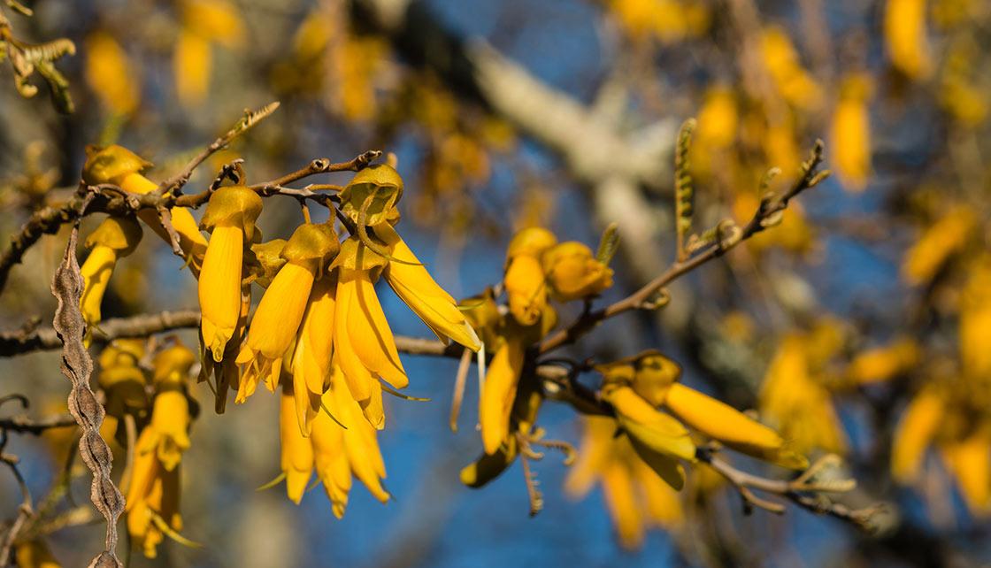 Flowering Kowhai